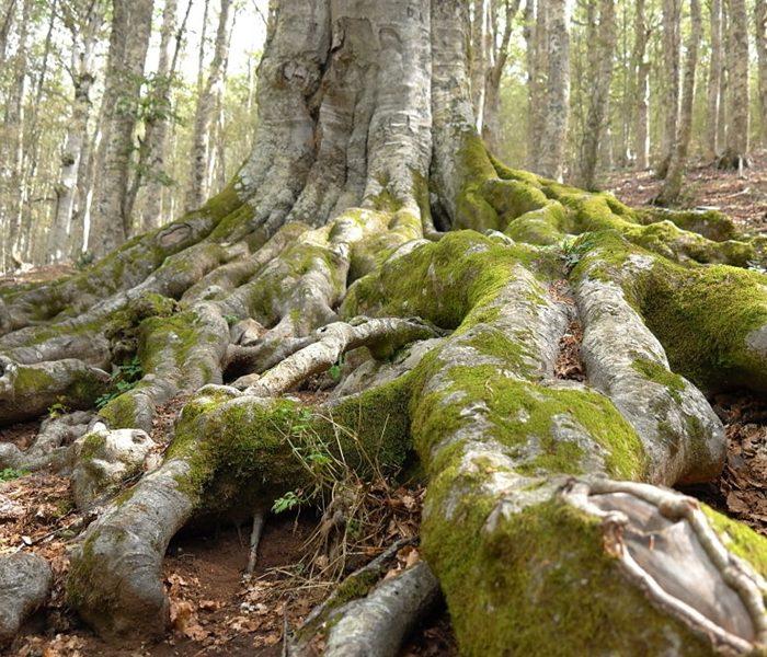 Sono Calabresi i due faggi più antichi d'Europa.