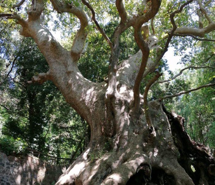 """""""European Tree Of The Year 2021"""", secondo posto per il Platano di Curinga."""